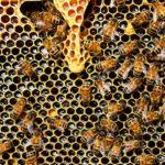 ¿Cómo saber si la miel de abeja es pura o adulterada?